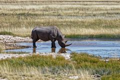 White rhino drinking stock image