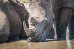 White rhino drinking water. Royalty Free Stock Photography