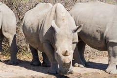 White Rhino Drinking Stock Photo