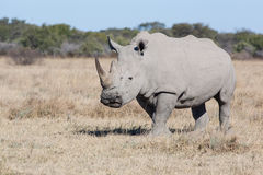White rhino Stock Photography