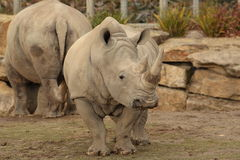 White rhino. A white rhino in Dublin zoo royalty free stock images