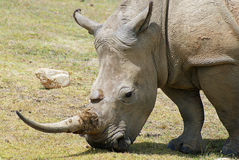 White rhino eating. Closeup picture of a white rhino eating grass Stock Image