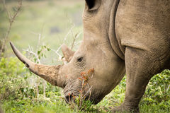 White rhino eating grass Royalty Free Stock Image