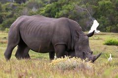 White Rhino and Egrets Stock Image