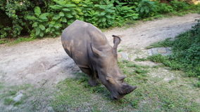 White rhino. Endangered rhinoceros black grey color Royalty Free Stock Photos