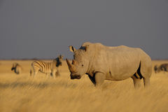White rhino. Etosha-nationalpark, namibia royalty free stock photo