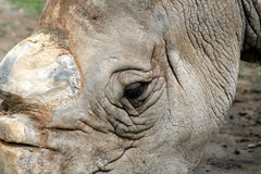 White Rhino Eye Royalty Free Stock Image