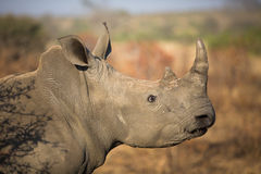 White rhino face Royalty Free Stock Image