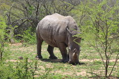 White Rhino facing foward Royalty Free Stock Image