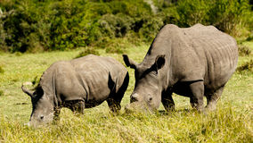 White Rhino Family Royalty Free Stock Image