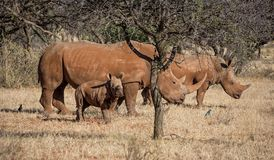 White Rhino Family. A White Rhinoceros family in Southern African savanna stock photography