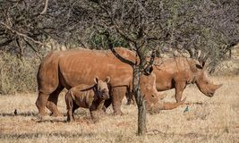 White Rhino Family. A White Rhinoceros family in Southern African savanna royalty free stock photo