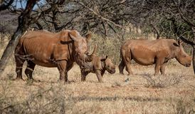 White Rhino Family. A White Rhinoceros family in Southern African savanna royalty free stock image