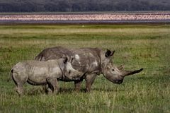 White rhino female with adopted young, Kenya Stock Image