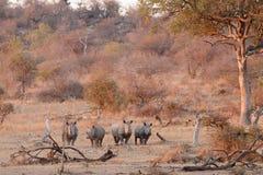 White Rhino. Four white rhino stand waiting their turn at a waterhole Stock Images