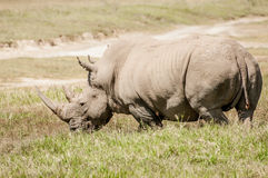 White Rhino in Grass Stock Photo