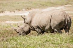 White Rhino in Grass Stock Photo