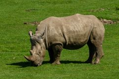 A White Rhino. Grazes on green grass Stock Photography