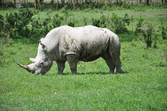 White Rhino Grazing Stock Image
