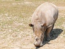 White rhino grazing stock photo