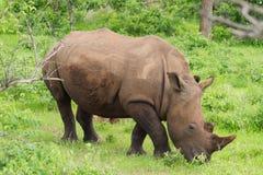 White Rhino grazing on grass Stock Image