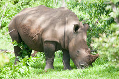 White Rhino grazing on grass Royalty Free Stock Photo