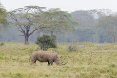 White Rhino grazing at lake Nakuru. Kenya, Africa Royalty Free Stock Images