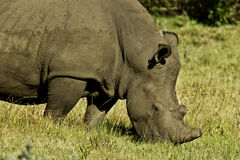 White Rhino grazing Stock Photos