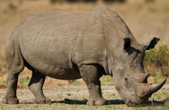 White rhino grazing Royalty Free Stock Images