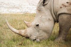 White Rhino Grazing Royalty Free Stock Photo