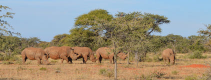 White Rhino Group Stock Image