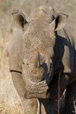 White rhino head Stock Image
