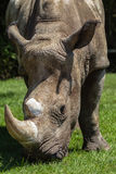 White Rhino Head Front  Stock Photos