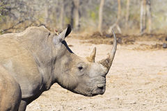 White Rhino head and shoulders Royalty Free Stock Photo