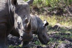 Free White Rhino & Her Calf Stock Photos - 58017663