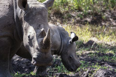 White rhino & her calf. White Rhinoceros - Witrenoster (Ceratotherium simum) and her calf in a game park in South Africa stock photos