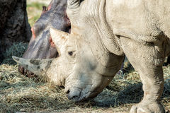 White rhino and hippo while eating together Stock Photo