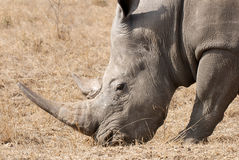 White Rhino Horn Royalty Free Stock Images