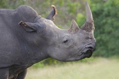 White Rhino with Horn Stock Photography