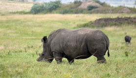White Rhino. With its horns ground down in an effort to protect it from being slaughtered, by poachers, for its horn, grazing in Tala Game Reserve, KZN, South Stock Images