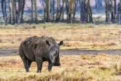 White Rhino in Kenya Looking Forward stock image