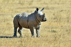 White Rhino in Kenya Stock Image