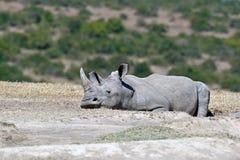 White Rhino in Kenya Royalty Free Stock Photos