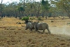 White Rhino in Kenya Royalty Free Stock Photo