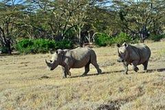 White Rhino in Kenya Stock Images