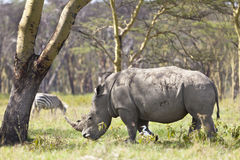 White Rhino in Kenya Stock Image