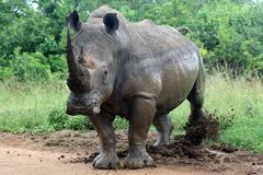 White rhino kicking border post Stock Images