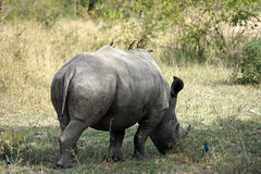 White Rhino. In the Krueger National Park Royalty Free Stock Photos