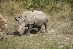 White Rhino. In the Krueger National Park Stock Images