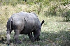 White Rhino. In the Krueger National Park Royalty Free Stock Image